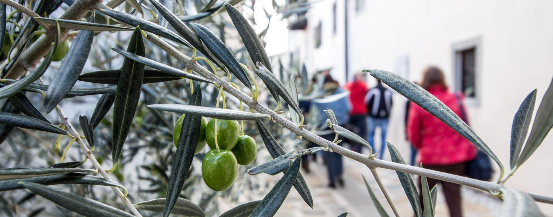 olive oil goriska brda