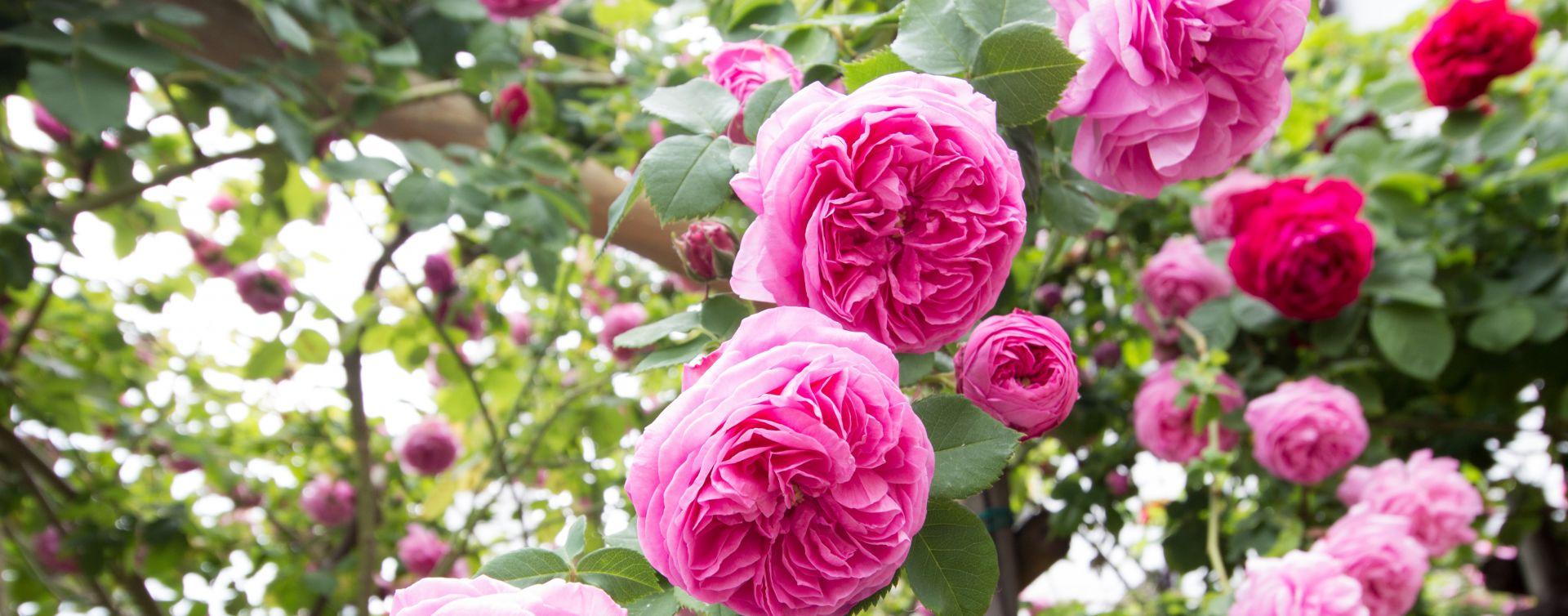 festival of roses slovenia